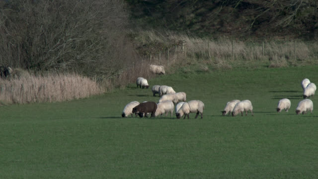 sheep grazing in a scottish field - galloway scotland stock videos & royalty-free footage