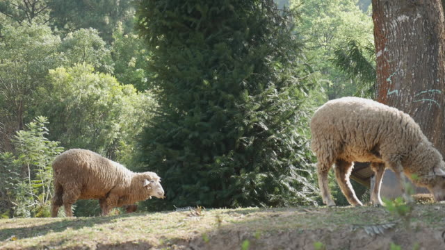 sheep grazing in farm - sheep stock videos & royalty-free footage