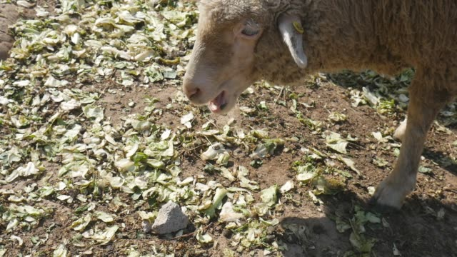 sheep grazing in farm - compound interest stock videos and b-roll footage
