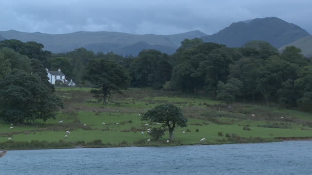 ws, ha, sheep grazing in field at crummock water lakeshore, mountains in background, lake district national park, cumbria, england - mittelgroße tiergruppe stock-videos und b-roll-filmmaterial