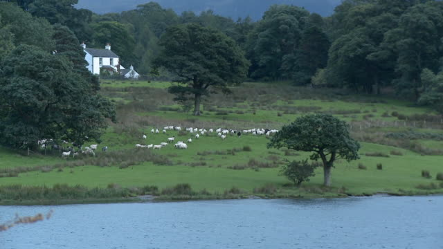 zo, ws, ha, sheep grazing in field at crummock water lakeshore, mountains in background, lake district national park, cumbria, england - mittelgroße tiergruppe stock-videos und b-roll-filmmaterial