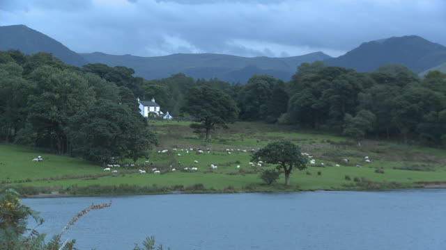 zo, ws, ha, sheep grazing in field at crummock water lakeshore, mountains in background, lake district national park, cumbria, england - lakeshore stock videos & royalty-free footage