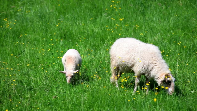 sheep grazing in green pasture cinemagraph - lamb animal stock videos and b-roll footage