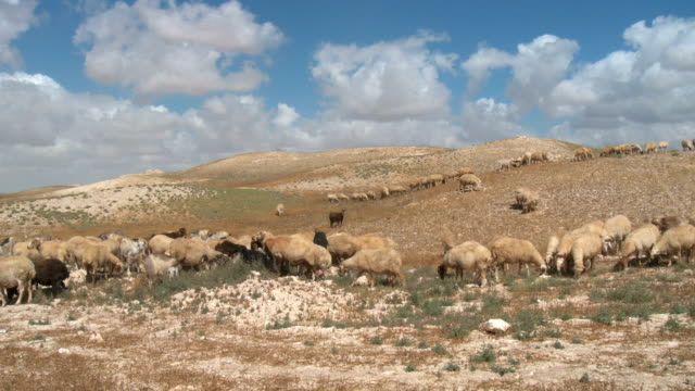 ws sheep grazing in judean desert / arad, judean desert, israel - israel stock videos & royalty-free footage