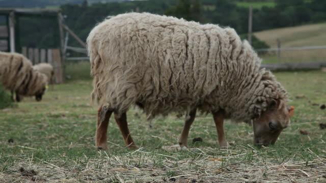 vídeos y material grabado en eventos de stock de sheep grazing in meadow, ardeche, france - oveja merina