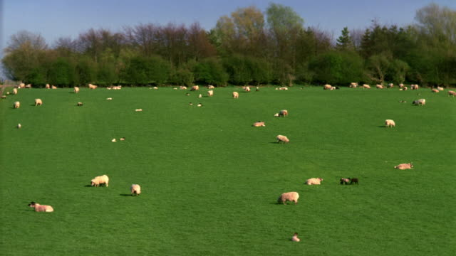t/l, ws, sheep grazing in pasture, cotswolds, oxfordshire, england - 数匹の動物点の映像素材/bロール