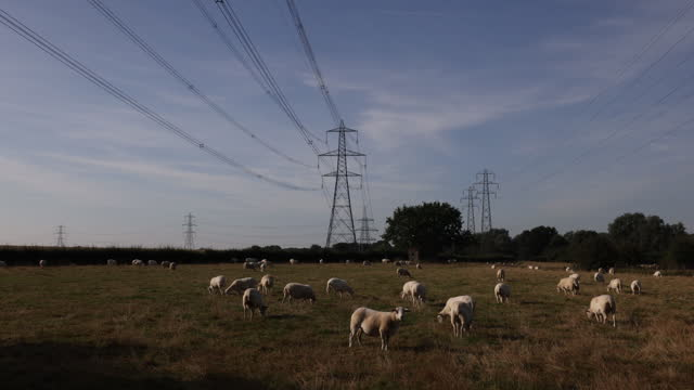 sheep grazing in pasture with electricity pylons near rayleigh, essex, uk on tuesday, september 21, 2021. - pasture stock videos & royalty-free footage