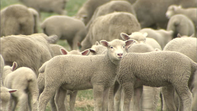 sheep grazing /iwate  - flock of sheep stock videos and b-roll footage