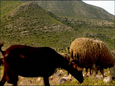 vídeos y material grabado en eventos de stock de sheep (ovis aries) grazing, low angle, cabo de gata, andalucia, spain - oveja merina