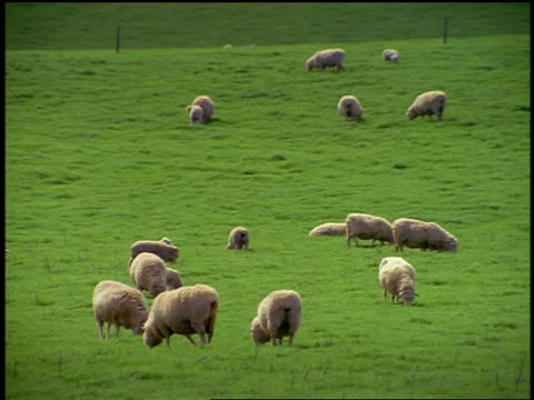 Sheep grazing near fence on grassy hill / North Island, Rotorua / New Zealand