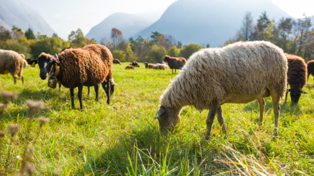 Sheep grazing on a meadow on a sunny day