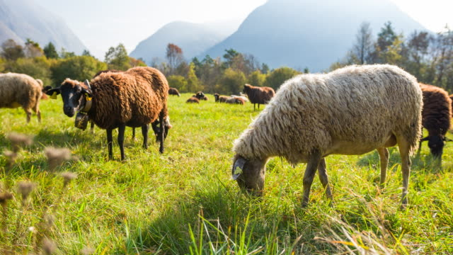 sheep grazing on a meadow on a sunny day - erbivoro video stock e b–roll