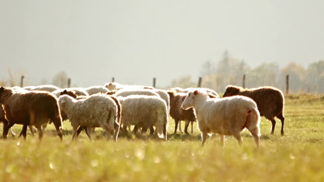 sheep grazing on a pasture - flock of sheep stock videos and b-roll footage