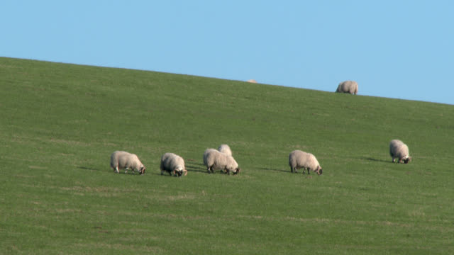 Sheep grazing on a Scottish hillside