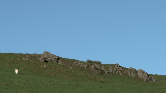 Schafbeweidung auf einem schottischen Hügel