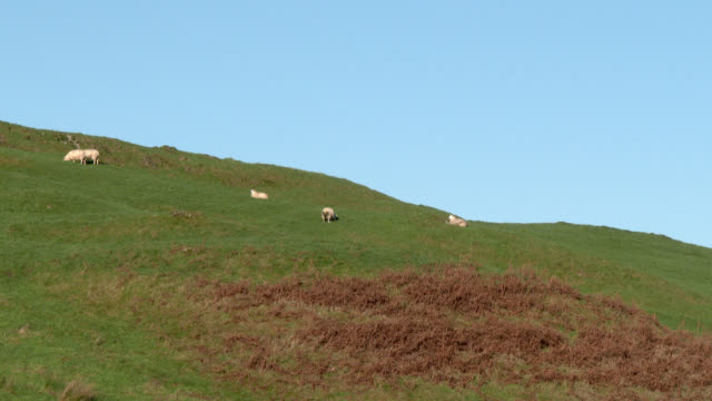 sheep grazing on a scottish hillside - sheep stock videos & royalty-free footage