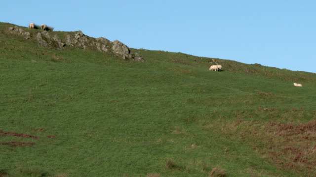 sheep grazing on a scottish hillside - galloway scotland stock videos & royalty-free footage