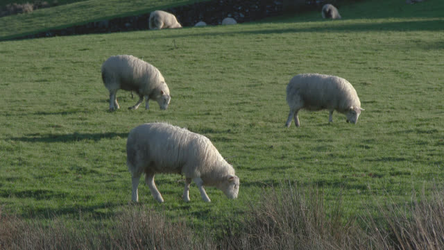 sheep grazing on a scottish hillside - flock of sheep stock videos & royalty-free footage