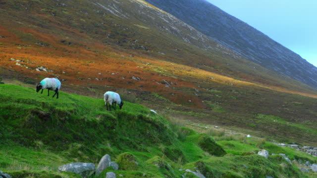 Schapen grazen op Achill Island