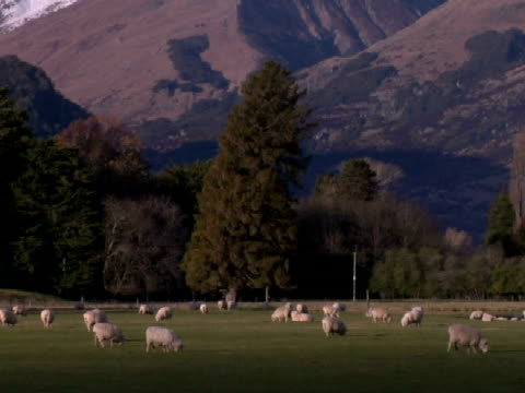 vídeos de stock e filmes b-roll de ws, tu, td, sheep grazing on field at snow capped mountain, wanaka, new zealand - herbívoro