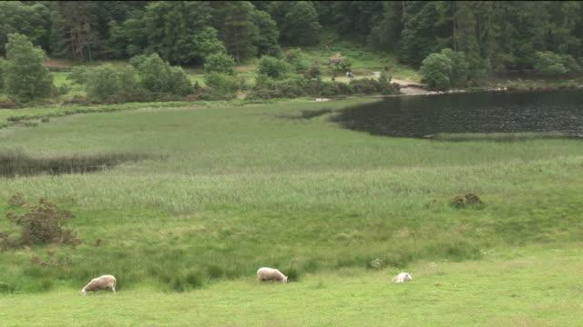 vidéos et rushes de ws, ha, sheep grazing on field, kilkenny, ireland - petit groupe d'animaux