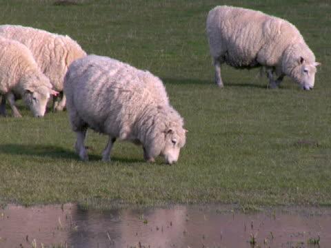 ms, tu, sheep grazing on field, wanaka, new zealand - pflanzenfressend stock-videos und b-roll-filmmaterial
