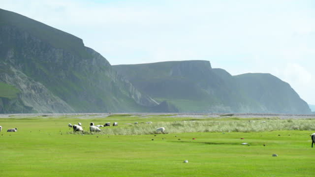 sheep grazing on golf course on achill island - rural scene stock videos & royalty-free footage