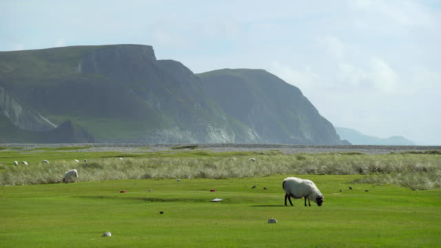 sheep grazing on golf course on achill island - ireland stock videos and b-roll footage