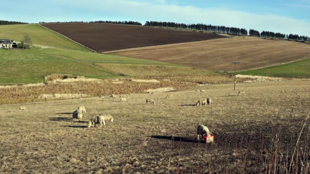 sheep grazing on grass hill near huntly, aberdeenshire, scotland, uk - scottish culture video stock e b–roll
