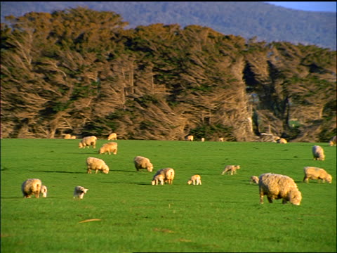 Sheep grazing on grassy field / trees in background / Te Waewae Bay / New Zealand
