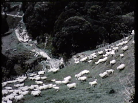 1955 montage ws ms sheep grazing on hills, farmers gathering herd of sheep into enclosure / new zealand / audio - sheep stock videos & royalty-free footage