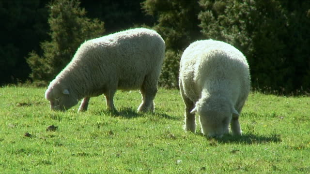 vídeos de stock e filmes b-roll de ms sheep grazing on paddock, oakura, taranaki, new zealand - dois animais
