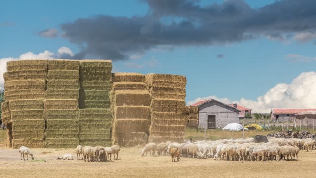 sheep grazing on the field in anatolian village - hay bail stock videos & royalty-free footage