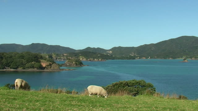 vidéos et rushes de ws sheep grazing on urupukapuka island / north island, new zealand - bay of islands nouvelle zélande