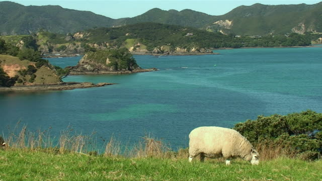 WS Sheep grazing on Urupukapuka Island / North Island, New Zealand