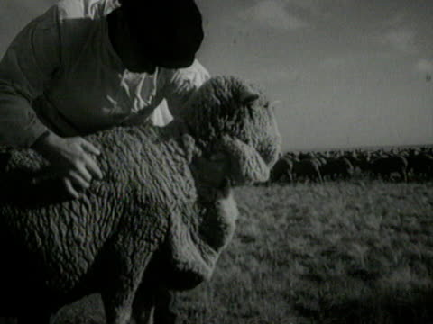 sheep grazing - flock of sheep stock videos & royalty-free footage