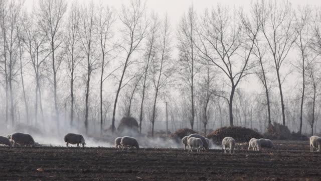 Schafe Grasen