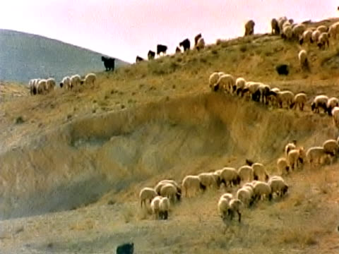 sheep grazing - israel stock videos & royalty-free footage