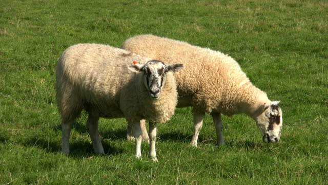 sheep grazing. - two animals stock-videos und b-roll-filmmaterial