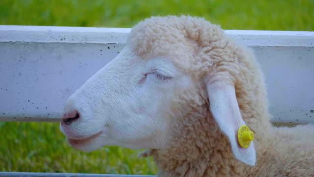 vídeos y material grabado en eventos de stock de cabezal de oveja - oveja merina