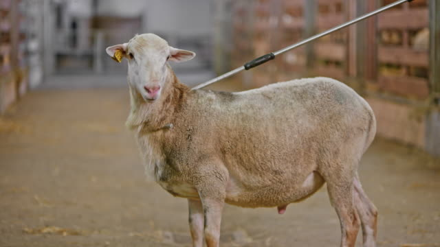 slo mo sheep held by a shepherd's crook looking into the camera - livestock tag stock videos and b-roll footage