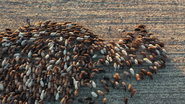 sheep herd in wheat field. aerial of sheep mustering seen from above. - gregge di pecore video stock e b–roll