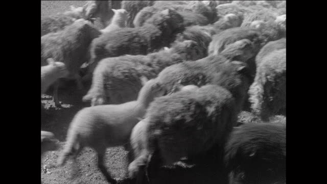 montage sheep herd running across field near rushing river / aberystwyth, wales - livestock stock videos & royalty-free footage