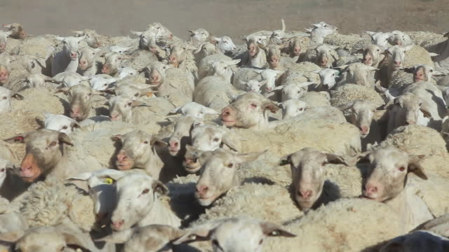 ms ts sheep herd running towards with crowd blowing dust / maricopa, california, united states - sheep stock videos & royalty-free footage