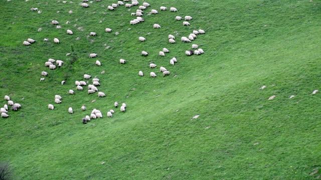 Schafherde hinunter einen Hügel