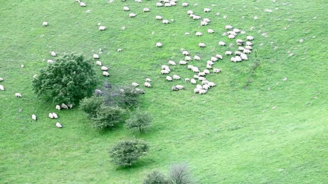 Sheep herd walking down a hill