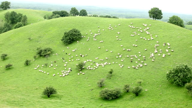 sheep herd walking down a hill - sheep stock videos & royalty-free footage