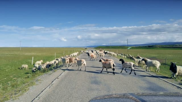 sheep herds near qinghai lake, qinghai province - flock of sheep stock videos & royalty-free footage