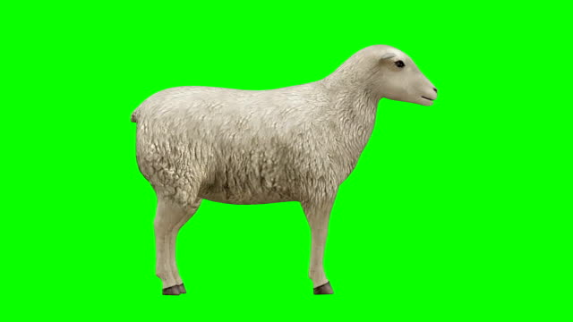 sheep idle green screen (loopable) - lamb animal stock videos and b-roll footage