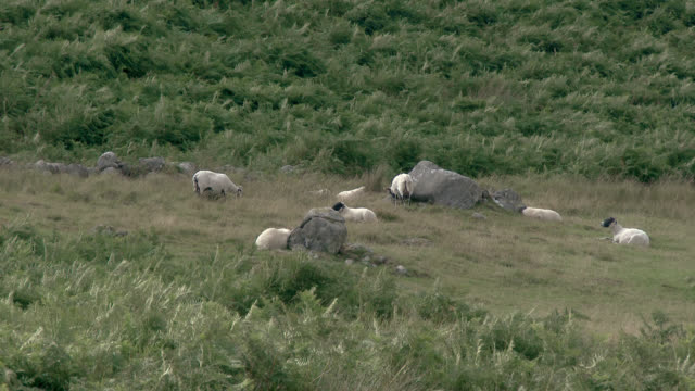 sheep in a field - fern stock videos & royalty-free footage